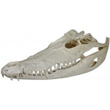Genuine crocodile skull CRSKULL001